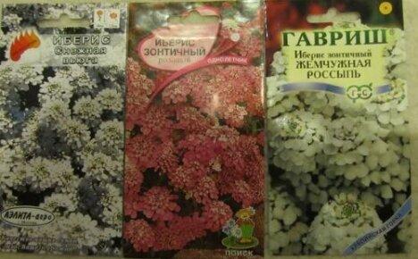 Иберис зонтичный выращивание из семян фото светлячок 70