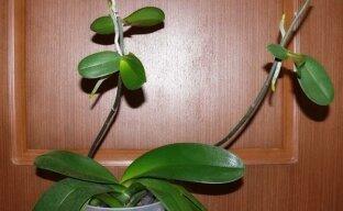 Размножение орхидеи: отделение и посадка детки