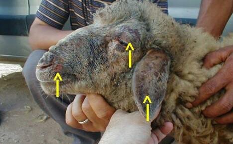 Особенности развития оспы при поражении овец и коз