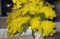 Как сохранить мимозу пушистой: «заправляем» воду и увлажняем цветы