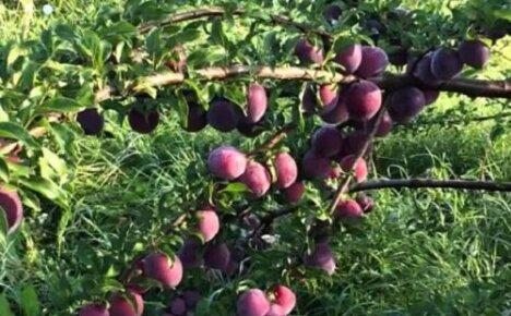 Выращивание сливы в Сибири — популярные сорта