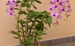 Дендробиум – яркий представитель эпифитных орхидей