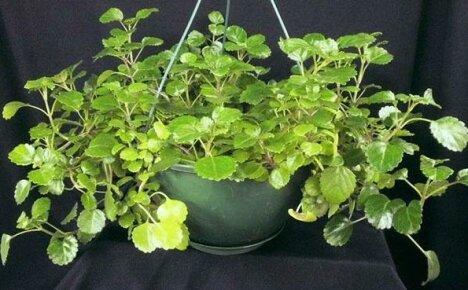Секреты и тонкости выращивания плектрантуса в домашних условиях