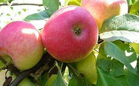 Знакомьтесь с проверенным временем летним сортом яблони Медуницы