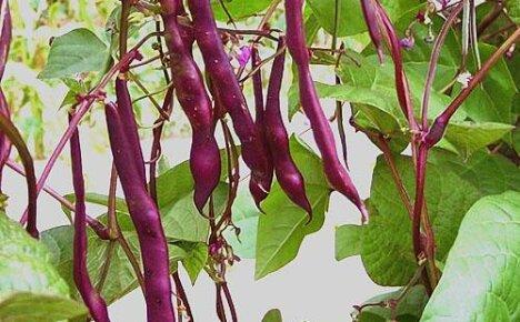 Выращиваем на своем участке полезную красную фасоль