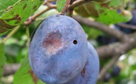 Избавляемся от сливовой плодожерки