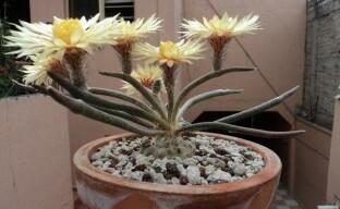 Самые красивые кактусы для вашего дома