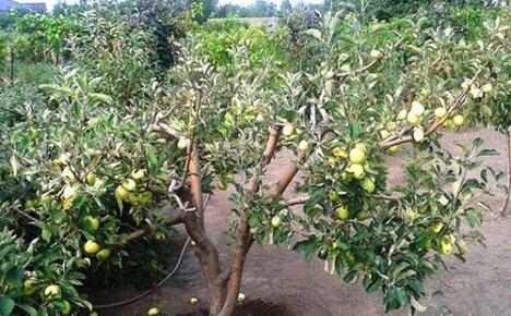 Методы борьбы с вредителями и болезнями яблонь