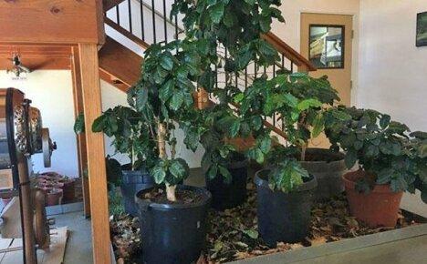 Тропическая красавица – кофейное дерево