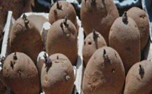 Как подготовить картофель к посадке (видео)
