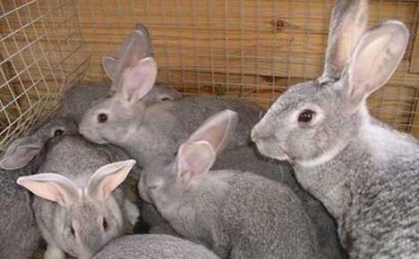 Выгодно или нет разведение кроликов как домашний бизнес