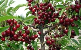 Как делать обрезку вишни для хорошего плодоношения