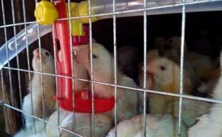 Содержание трехнедельных цыплят