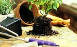 Пересадка комнатных растений: время и технология