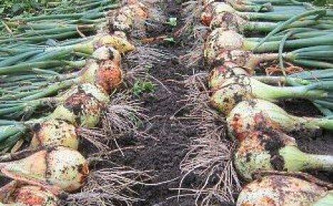 Лук эксибишен – выращивание через рассаду