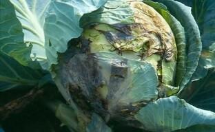 Борьба с болезнями капусты