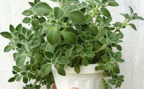 Изящный красавец плектрантус: распространенные виды для домашнего выращивания