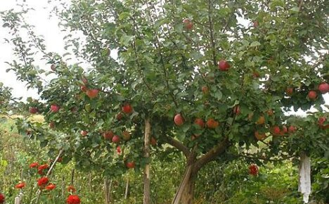 Зимостойкие сорта яблонь для Урала и Сибири
