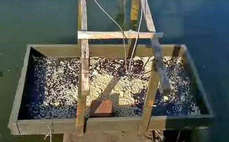 Кормление рыбы в пруду
