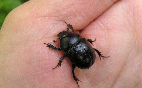 Живет на даче жук навозник