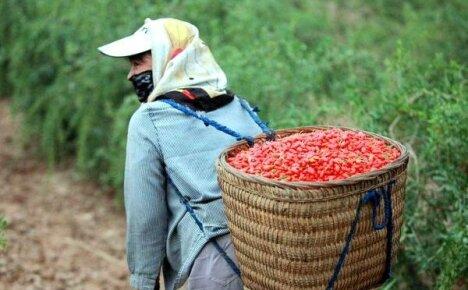 Полезные свойства и противопоказания к применению ягод годжи
