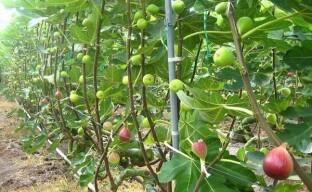 Горизонтальный кордон – идеальный способ формировки инжира при выращивании в рискованных зонах