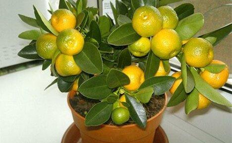 Вырастим символ благополучия — мандарин из косточек в домашних условиях