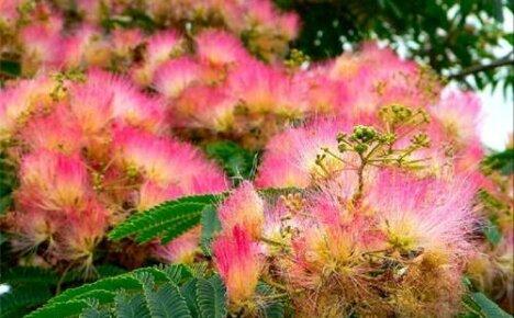 Очаровательная тропиканка шелковая акация