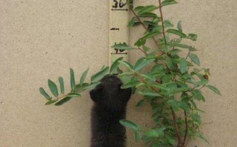 Как посадить жимолость осенью?
