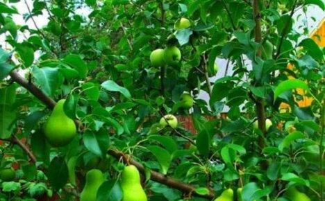 Прививка груши на яблоню — когда и как сделать