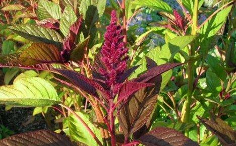 Выращивание амаранта рассадой — правила и советы