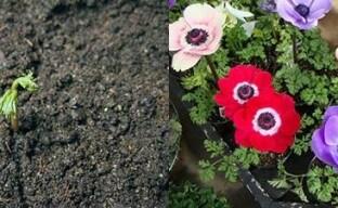 Выгонка анемонов и 8 марта цветы у ваших ног
