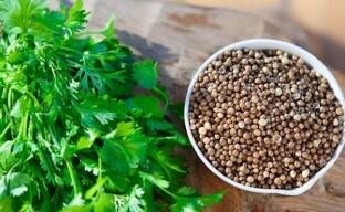 Особенности выращивания и лучшие сорта кинзы