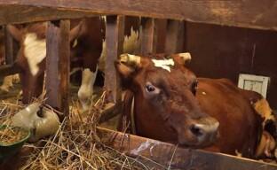 Содержание коров в частном подсобном хозяйстве