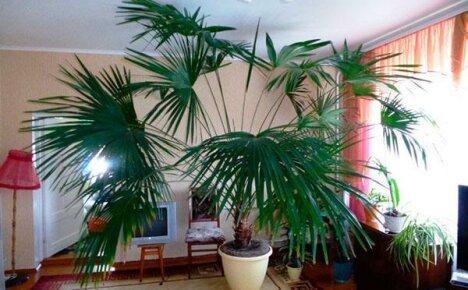 Болезни пальмы в домашних условиях: диагностика и эффективная терапия