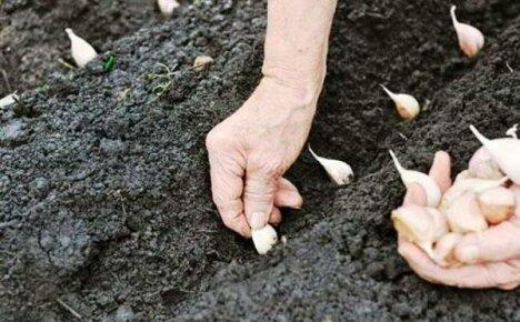 Высаживание чеснока под зиму
