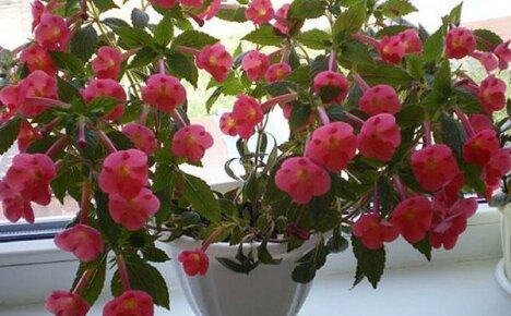 Правильный уход за ахименесами как залог их пышного цветения