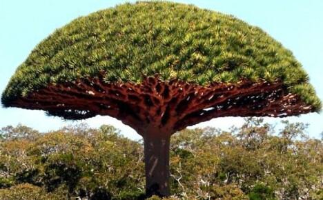 Какие виды красного дерева можно встретить на планете Земля
