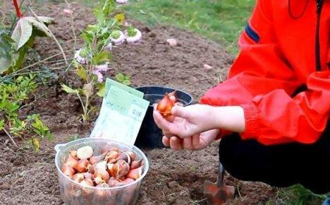 Сроки посадки тюльпанов осенью