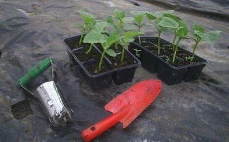 Когда высаживать рассаду огурцов в теплицу?