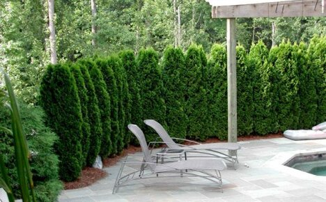 Лианы и кустарники для живой, быстрорастущей, многолетней и вечнозелёной изгороди