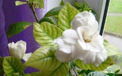 Причины побледнения листьев у гардении и пути их решения