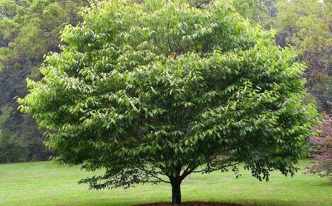Главное о целебных свойствах дерева граб