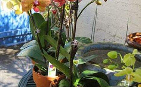 Пересадить орхидею совсем несложно