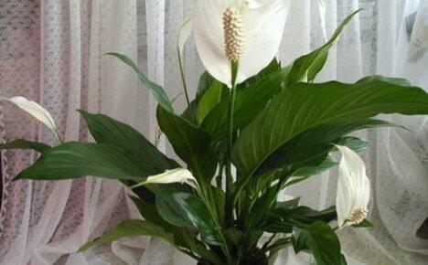Как ухаживать за цветком женское счастье: создаем идеальные условия для цветения спатифиллума