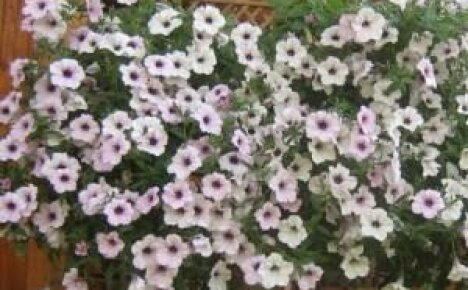 Петуния Тайфун — основные характеристики растения