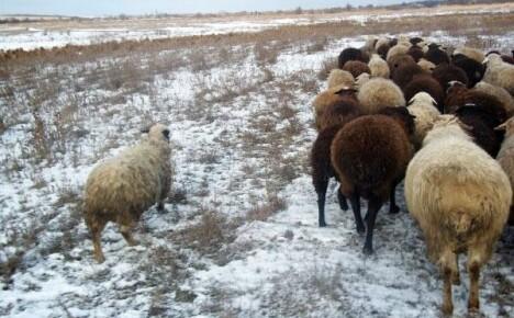 Важно знать как правильно подготовить отару к зиме