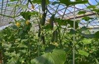 Как вырастить огурцы в теплице: кратко о посадке и уходе