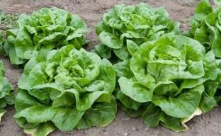 Выращивание кочанного салата