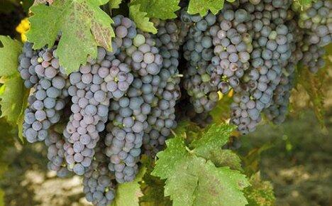 Все о винограде: виды, сорта и путь к совершенству